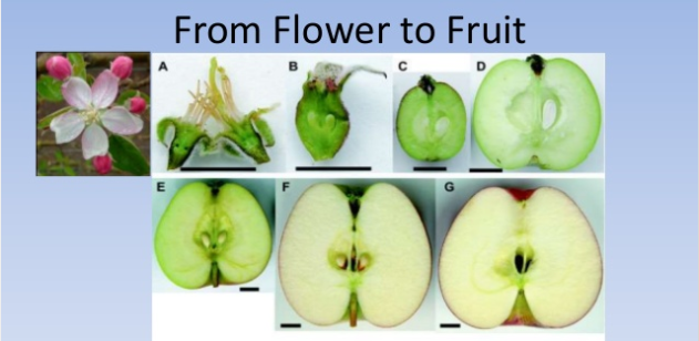 Apple Flower to Fruit